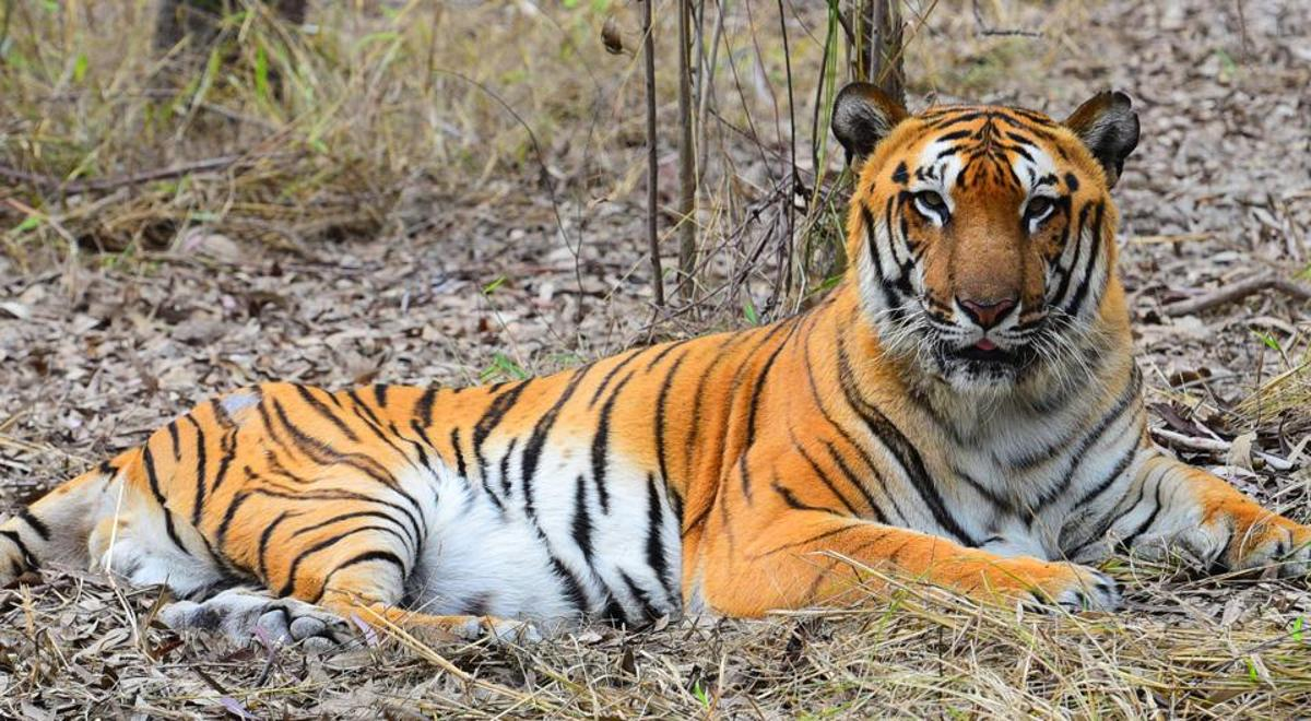 Climate change may wipe-out Bengal Tigers