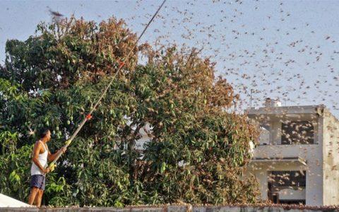 Locusts will not enter Delhi: FAO