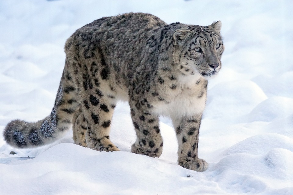India's first snow leopard conservation centre to come up in Uttarakhand