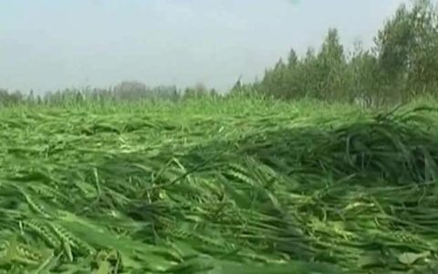 Heavy rains destroy crops in Andhra Pradesh